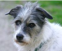 A jack russell / border collie mix dog