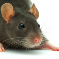 Who Is Responsible For Rats In A Rented Property