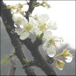 plum flowers in rain